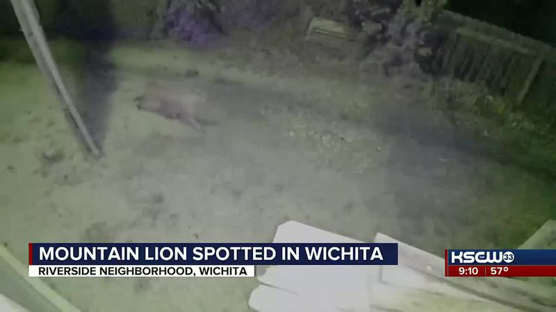 Mountain lion in Wichita