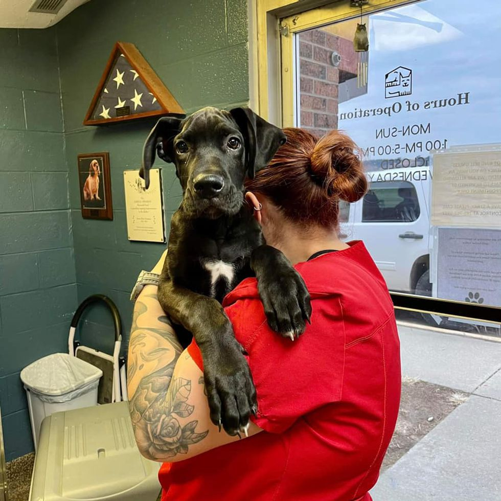 Great Dane puppy abandoned outside of Junction City Animal Shelter