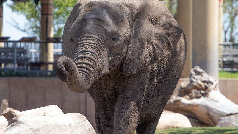 Zuberi, a 12-year-old female African elephant begins treatment for EEHV, a potentially fatal...