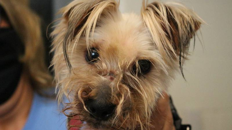 The Kansas Humane Society said a good Samaritan found this dog in Wichita with its mouth tied...