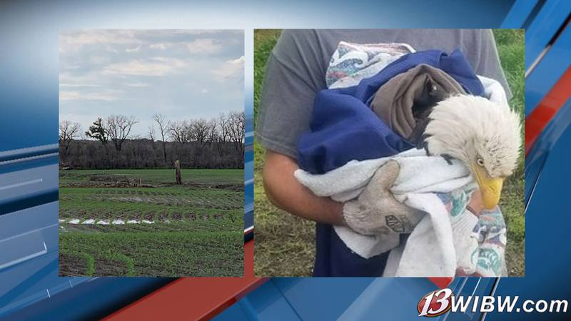 A bald eagle is saved near Blue Rapids on May 27, 2021, after a storm blew her nest out of a...