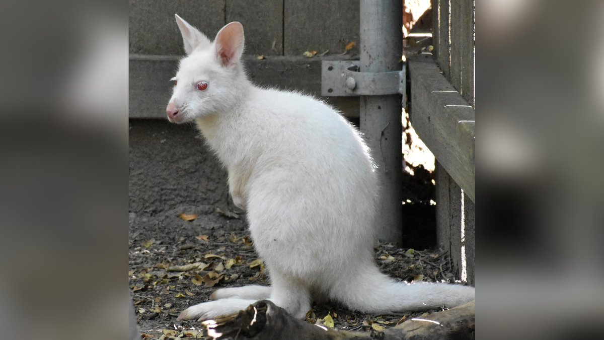 Bruny is a melanin-challenged marsupial born at a zoo in Kansas.