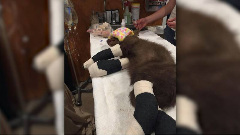 """Officials at Lake Tahoe Wildlife Care have named the young male bear """"Tamarack"""" after the fire..."""