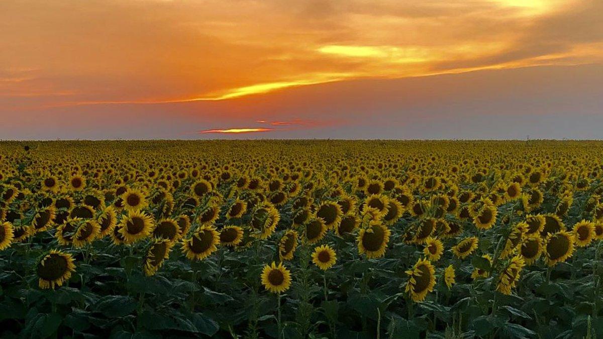 Sunset over sunflower Field near Bucklin Kansas