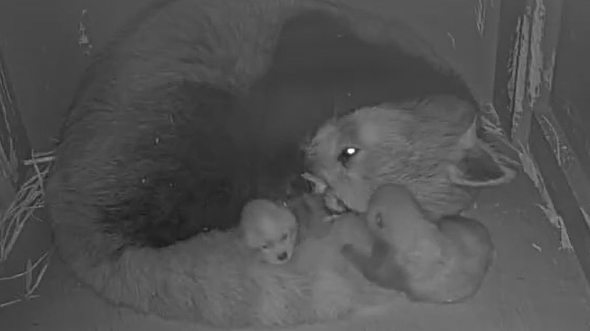 Lee Richardson Zoo in Garden City welcomed two red panda cubs and four roadrunner chicks...