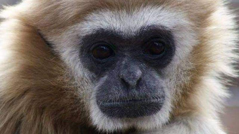 Zito the Lar Gibbon (Great Bend-Brit Spaugh Zoo Facebook)