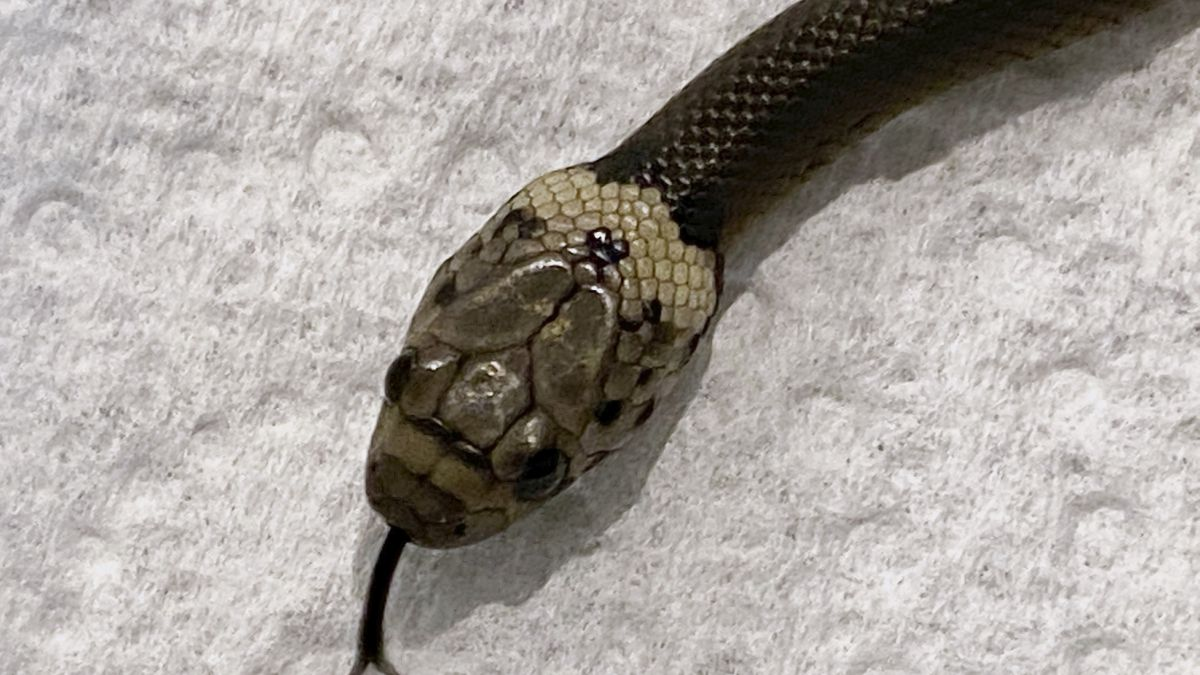 In this photo provided by Wildlife Information, Rescue and Education Service (WIRES), a...