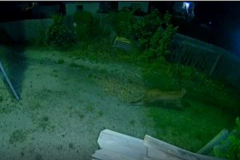 A Ring home security camera captured footage of a mountain lion in an alley of Wichita's...