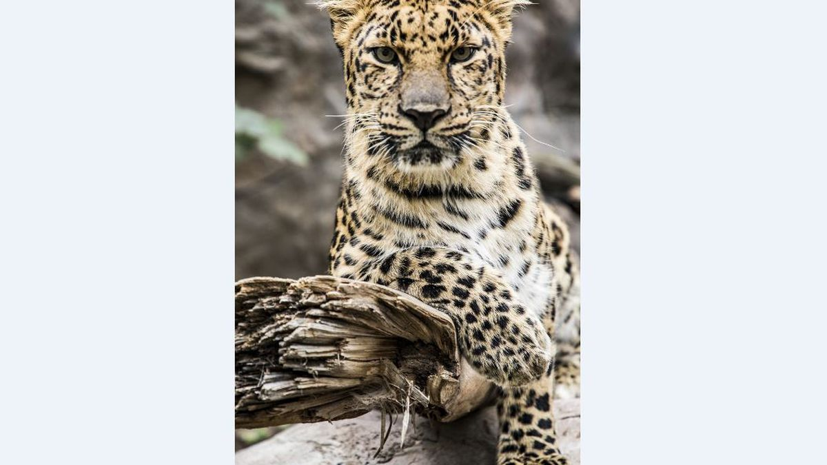 The staff at Garden City's Lee Richardson Zoo mourns the death of Viktor, a 16-year-old Amur...