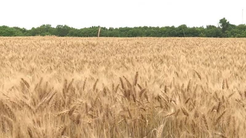 Wheat field near Rosalia in Butler County, Kansas.
