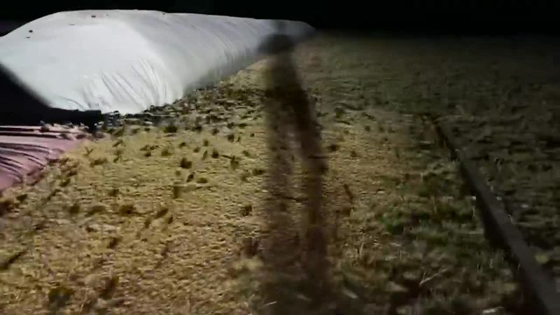 People in Australia are overwhelmed by an invasion of mice.