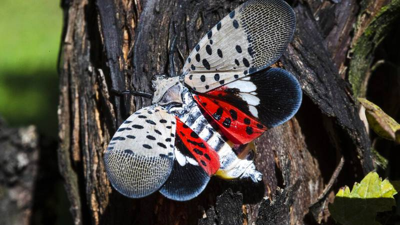 FILE - This Sept. 19, 2019, file photo shows a spotted lanternfly at a vineyard in Kutztown,...