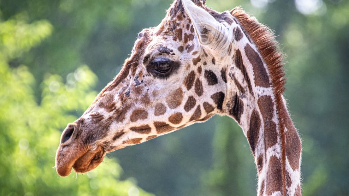 The 26-year-old reticulated giraffe was euthanized at the Sedgwick County Zoo on July 20.