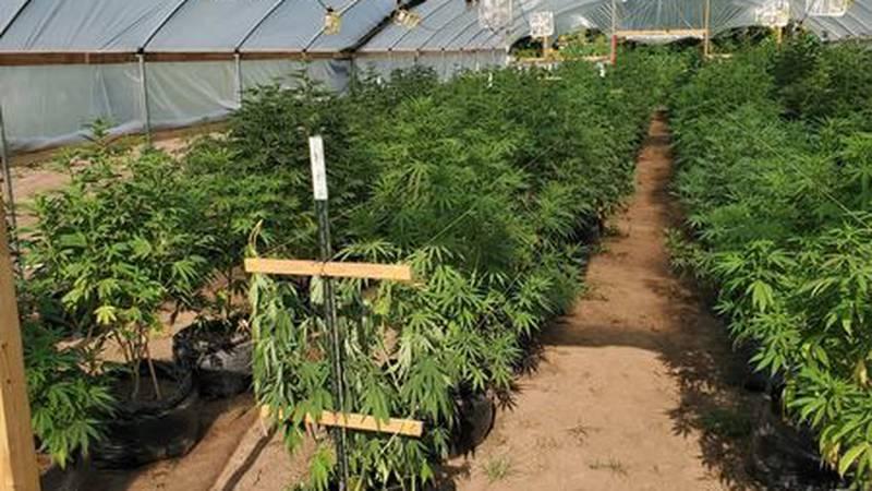 OBN estimates the street value of this plant seizure to be near $3 million.