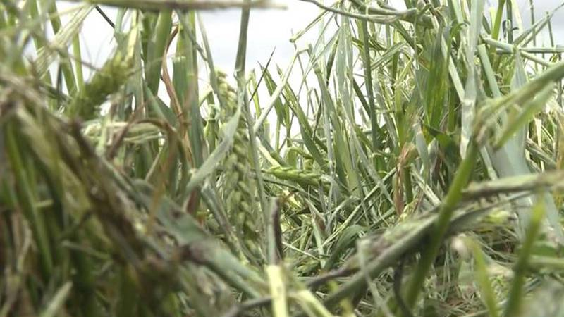 Large hail and strong winds damaged wheat crops in Ellsworth County, Kan. on Wednesday, May 26,...