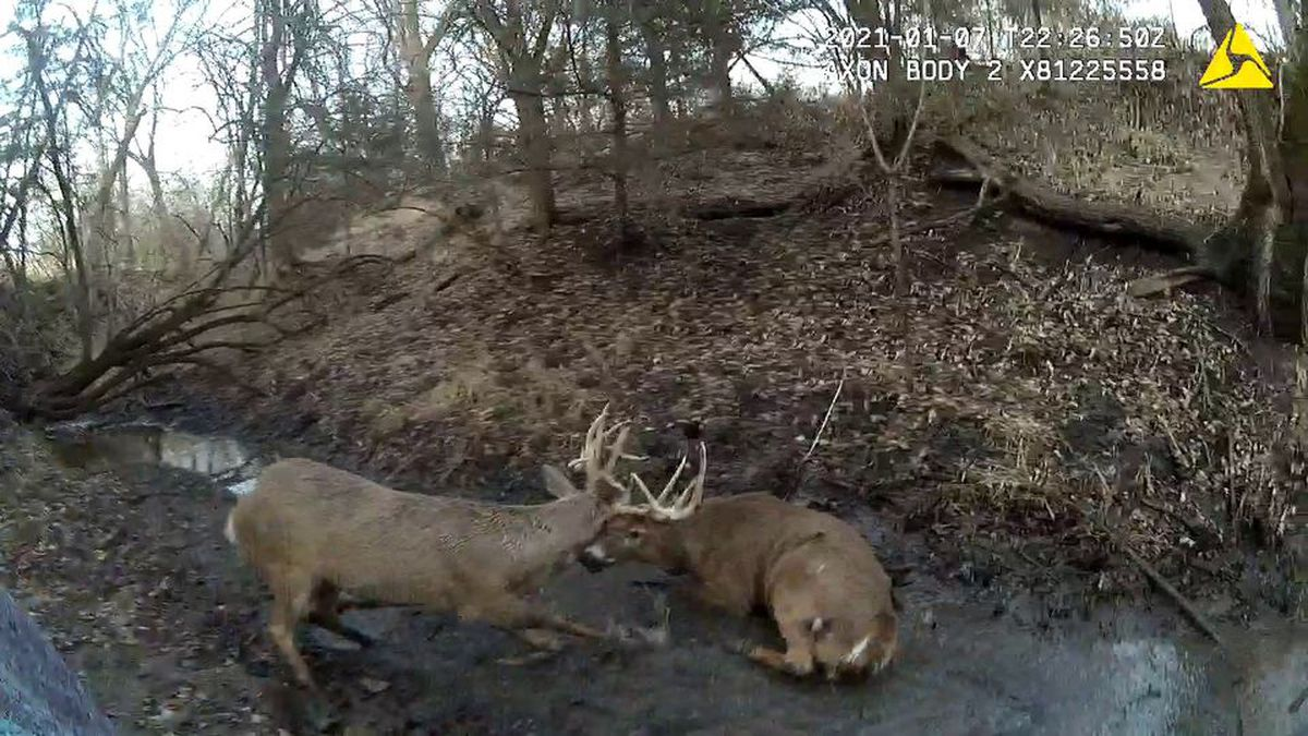 A Kansas game warden works to free two tangled bucks in Jackson County.